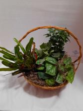 European Garden 1 Plant