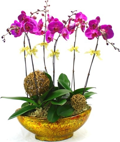 COTEMPORARY      PHALAENOPSIS ORCHID