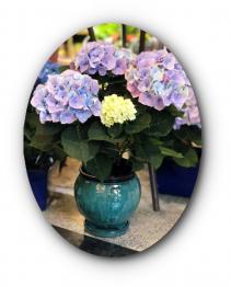 Outstanding Hydrangea Plant Arrangement