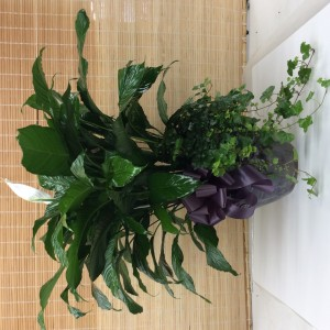 Exquisite Peace Lily Green plant