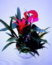 Extra Large Anthurium Planter
