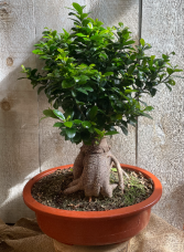Extra Large Bonsai Ficus Retusa plant
