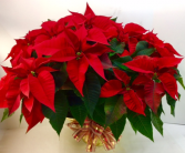Extra Large Red Poinsettia