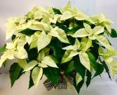 White Poinsettia  Poinsettia plant