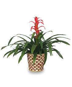 TROPICAL BROMELIAD PLANT  Guzmania lingulata major  in Springfield, IL | FLOWERS BY MARY LOU INC