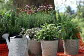 Herb Container Seasonal - Mixed Perennial Herb Plants
