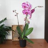 Fabulous Double Phalaenopsis Orchids Mother's Day Blooming Plant