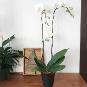 FABULOUS DOUBLE PHALAENOPSIS ORCHIDS BLOOMING PLANT in Warman, SK | QUINN & KIM'S FLOWERS