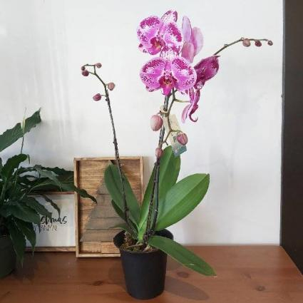 FABULOUS DOUBLE PHALAENOPSIS ORCHIDS BLOOMING PLANT