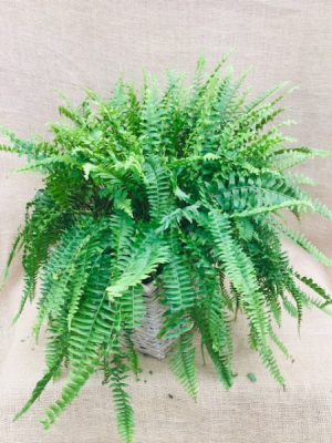 Fabulous Fern  Houseplant in Coleman, WI | COLEMAN FLORAL & GREENHOUSES