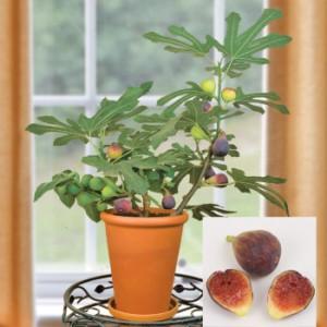 Fabulous Fig Tree Hardy Chicago Varity