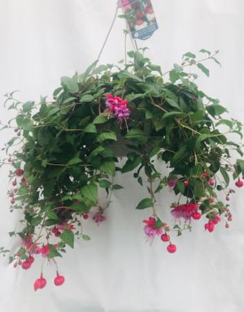 Fabulous Fushia  Hanging Basket