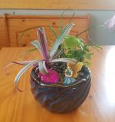 Fairy Garden(6in) Plant