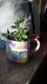 Fairy heart tea cup garden succulent  plants