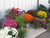 Plant - Fall Garden Mums Outdoor Plants