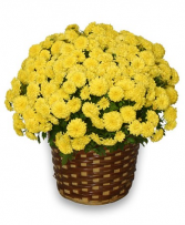 Fall Hearty Mum Plant Plant