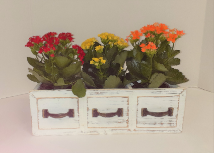 Kalanchoe Collection