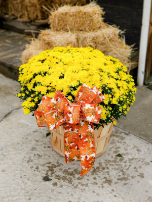 Fall Mum   in Warsaw, IN | ANDERSON FLORIST & GREENHOUSE