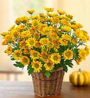 Fall Mum in a Basket  Perennial Mum to be planted before Oct. in Bowerston, OH   LADY OF THE LAKE FLORAL & GIFTS