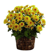 Fall Mum in a basket Plant