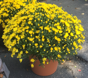 Fall Mum  Plant in Iowa City, IA   Every Bloomin' Thing