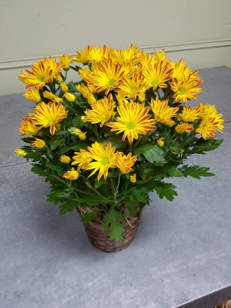 "Fall Mum Plant 6"" Mum in Basket"