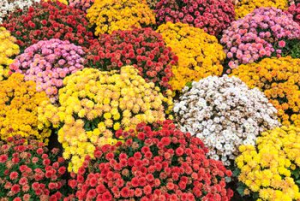 Fall Mums  in Dayton, OH | FLOWERAMA