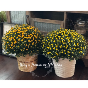 Fall Mums Plants in Albany, GA | WAY'S HOUSE OF FLOWERS