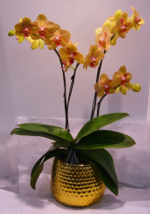 FALL PHALAENOPSIS ORCHID PLANT Indoor Plant