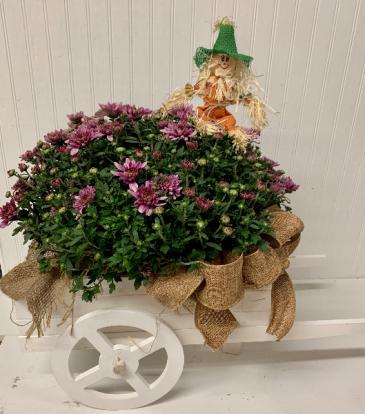 Fall Wagon Mum Plant