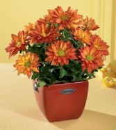 Fall with chrysanthemums