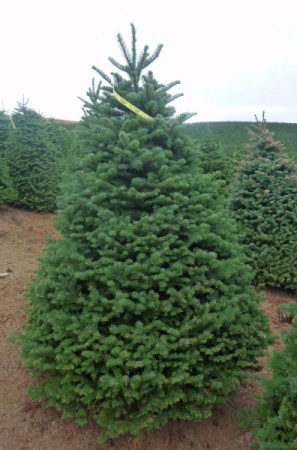 Noble Fir Christmas Tree.Green Fashion Nursery