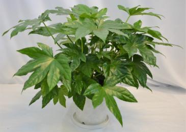 FATSIA PLANT IN WHITE CERAMIC GREEN PLANT