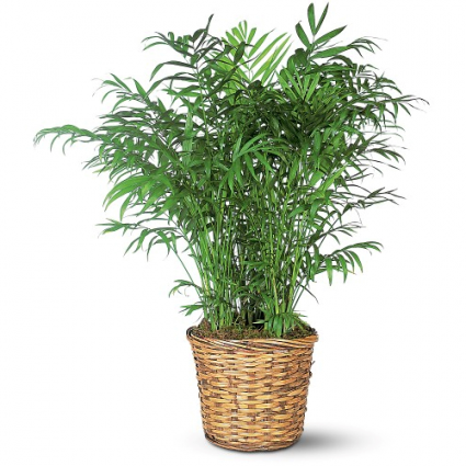 Feathery Palm Green Plant