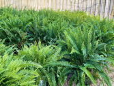 Ferns  Outdoor Plants