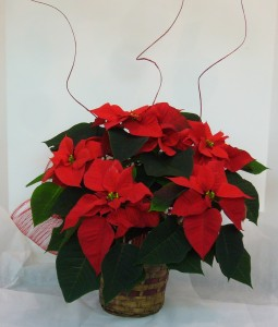 FESTIVE POINSETTIA Blooming Plant