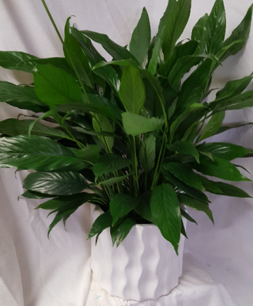 "Peace Lily in a 6"" pot in  a nice white ceramic container!"
