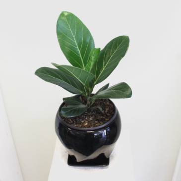 Ficus 'Audrey'