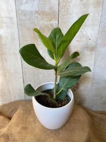 Ficus Audrey plant