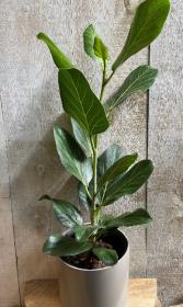 Ficus Audrey Plant in Ceramic Pot