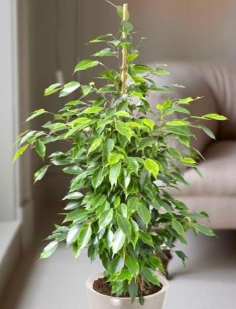 Ficus benjamina Twilight (Weeping Fig - Twilight)  Plants