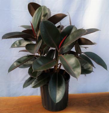 "Ficus elastica ""Burgundy"" House Plant"