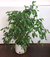 Ficus Green Plant