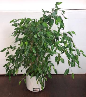 Ficus Green Plant