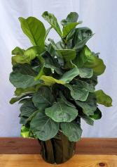 Fiddle Leaf Ficus House Plant