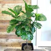 Ficus Lyrata 'Fiddle Leaf Fig'