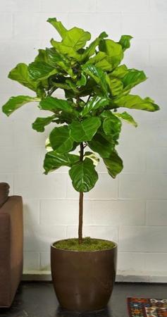 ficus lyrata  Plants