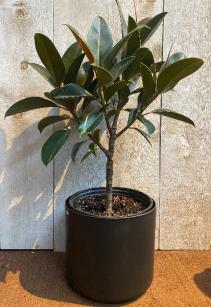 "Ficus Melany Rubber Plant 10"" Diameter"