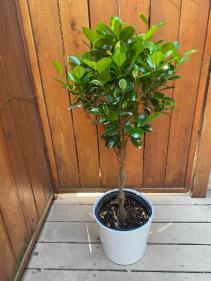 Ficus Moclame Braided Plant in Ceramic Pot