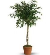 FICUS TREE PLANT
